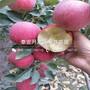 山东瑞士红肉苹果树苗报价图片