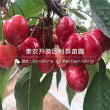 红心无花果树苗新品种、红心无花果树苗价格是多少图片