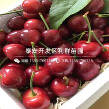 山东早红宝石樱桃树苗出售价格、山东早红宝石樱桃树苗批发价格图片