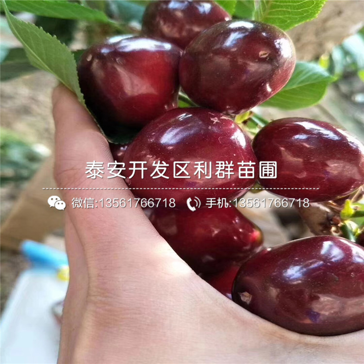 【山东脆红李子树苗、脆红李子树苗报价】- 黄页88网