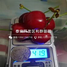 优质大樱桃苗出售价格图片