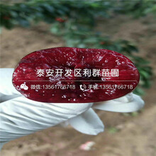 哪里有矮化樱王樱桃树苗批发图片