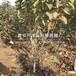 山东10公分大樱桃树苗批发价格是多少