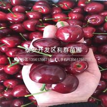 黑珍珠樱桃树苗基地出售图片