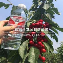 三红梨树苗市场价格图片