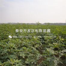 矮化矮化吉塞拉大樱桃苗、2019年矮化矮化吉塞拉大樱桃苗出售图片