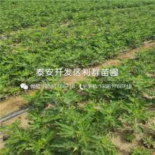 瑞卡蓝莓苗图片