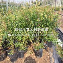 矮化15公分大櫻桃樹苗出售價格是多少圖片