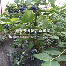 紅蛇果蘋果苗出售、2019年紅蛇果蘋果苗報價圖片