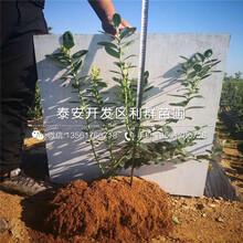 矮化香椿苗出售價格、2019年矮化香椿苗價格圖片