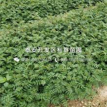 山东占地樱桃树苗出售、山东占地樱桃树苗多少钱一棵图片