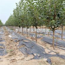出售8公分杏苗价格是多少图片