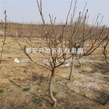 矮化雷尼樱桃苗批发基地、矮化雷尼樱桃苗价格多少图片