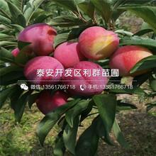 2019年实生樱桃树苗报价、今年实生樱桃树苗多少钱一棵图片