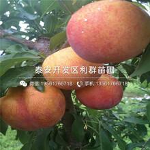 哪里有矮化大樱桃树苗出售、今年矮化大樱桃树苗价格多少图片