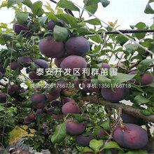 矮化桑提娜樱桃树苗出售报价图片