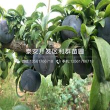 山东矮化7公分大樱桃苗、矮化7公分大樱桃苗出售图片