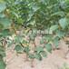 山东圆蓝蓝莓树苗多少钱一棵