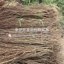 泰山红光板栗苗、泰山红光板栗苗出售价格是多少图片
