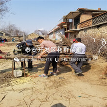 矮化櫻桃(tao)樹出(chu)售價格(ge)、矮化櫻桃(tao)樹價格(ge)是多少圖(tu)片(pian)
