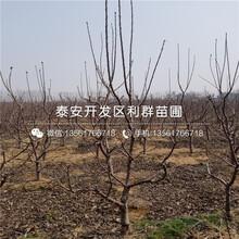 山东响富苹果树苗、山东响富苹果树苗批发基地图片