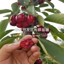 2019年矮化斯坦勒櫻桃苗品種圖片
