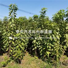 2019年矮化优质大樱桃树苗价格、矮化优质大樱桃树苗批发价格图片