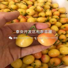 1公分钱德勒蓝莓苗价格图片