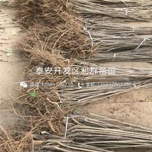 出(chu)售9公(gong)分櫻桃(tao)樹苗(miao)基地圖(tu)片(pian)