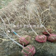 山东矮化樱桃树苗价格多少图片