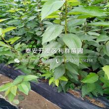 迪克西蓝莓树苗价钱是多少图片