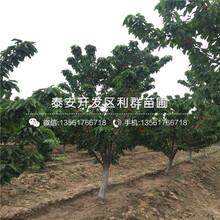 早酥红梨树苗哪里有卖、2019年早酥红梨树苗多少钱一棵图片