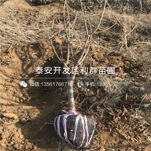 山东臭橘种苗出售价格多少图片