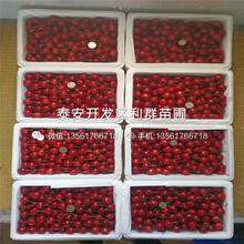 N-B-3蓝莓树苗哪里有卖、2019年N-B-3蓝莓树苗多少钱一棵图片
