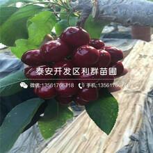 山东大紫大樱桃苗、大紫大樱桃苗价格多少图片