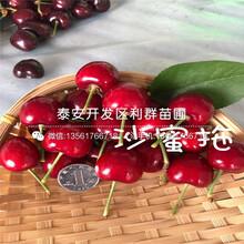 紅香酥梨樹苗批發價格、紅香酥梨樹苗出售基地圖片