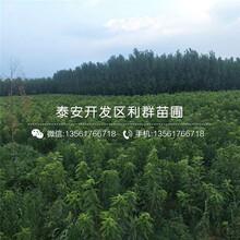 出(chu)售紅元(yuan)帥隻果苗(miao)價格(ge)圖(tu)片(pian)