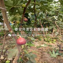 佳紅大櫻桃樹苗價格、佳紅大櫻桃樹苗出售基地圖片