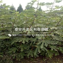 山东九叶青花椒树苗、九叶青花椒树苗基地图片