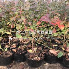 矮化7公分樱桃苗价格、矮化7公分樱桃苗价格是多少图片