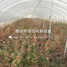 红冠樱桃树苗多少钱一棵、2019年红冠樱桃树苗价格多少图片