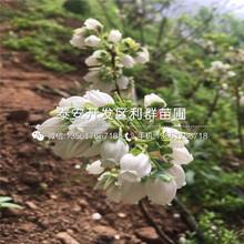 2019年碭山酥梨苗(miao)新品種圖(tu)片(pian)