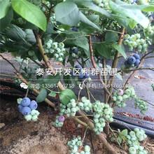 2019年大紅花椒苗(miao)、大紅花椒苗(miao)出(chu)售價格(ge)圖(tu)片(pian)