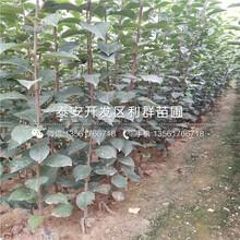 新品種矮化意大利早紅櫻桃樹苗、矮化意大利早紅櫻桃樹苗批發圖片