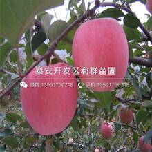 新品种矮化出售大樱桃苗基地图片