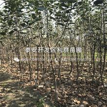 大红花椒树苗价格、大红花椒树苗报价是多少图片