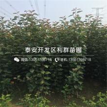 山東中農紅無花果樹苗出售基地、山東中農紅無花果樹苗批發基地圖片