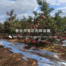大粒星蓝莓树苗一株多少钱图片