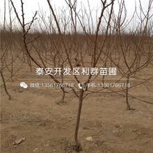 出售红艳樱桃树苗价格图片