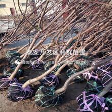 2公(gong)分矮化雷尼大櫻桃(tao)樹苗(miao)、2公(gong)分矮化雷尼大櫻桃(tao)樹苗(miao)價格(ge)圖(tu)片(pian)